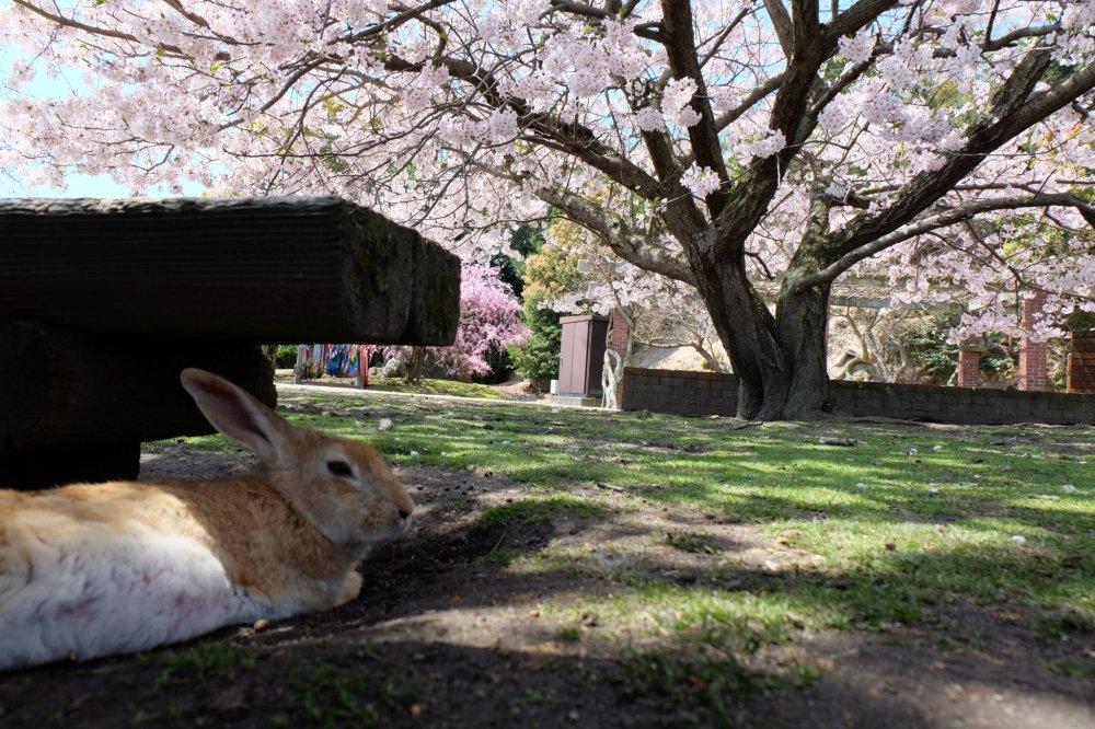 บรรยากาศของเกาะกระต่ายในฤดูซากุระ
