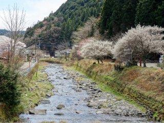 ธารน้ำที่เรียงรายไปด้วยต้นซากุระ