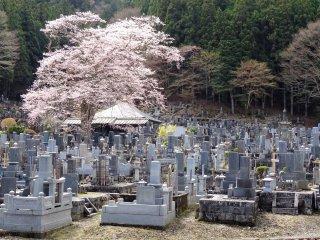 สุสานอันเงียบสงบกับต้นซากุระ