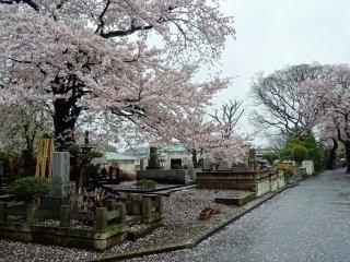 สายฝนและลมกรรโชก พริดกลีบดอกไม้สีชมพูสวยให้ร่วงพรูลงสู่พื้นดิน ภาพความงามง่ายๆ