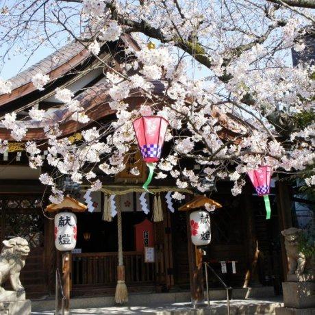 Hoa anh đào ở Kitano, Kobe
