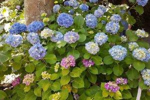 ดอกอะจิไซ (Ajisai) หรือ ดอกไฮเดรนเยีย ที่บางคนยกย่องให้เป็น 'ดอกไม้แห่งสายฝน'