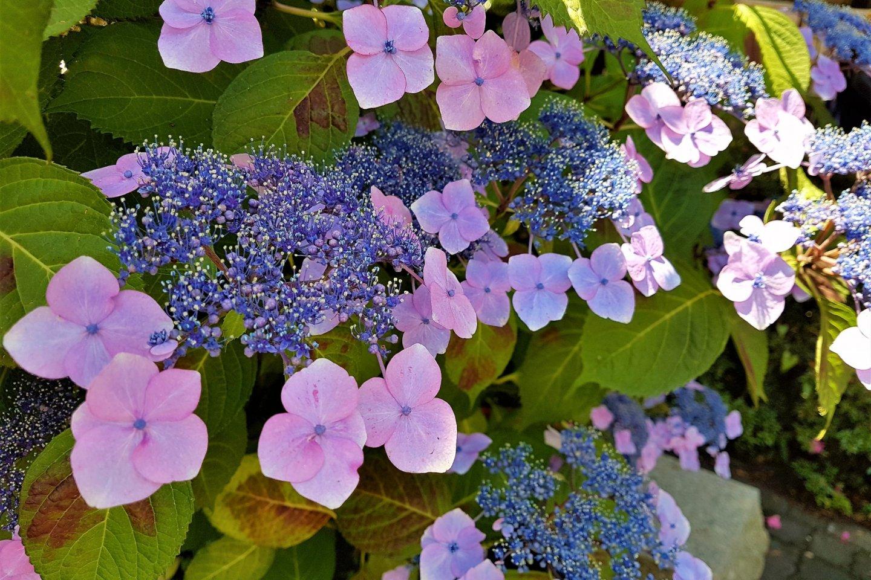 ดอกอะจิไซ หรือไฮเดรนเยีย มีชื่อเรียกอีกชื่อหนึ่งว่า \'ชิทิเฮ็นเกะ\' (Shitihenge) ดอกไม้ที่สามารถเปลี่ยนแปลงได้หลากหลาย
