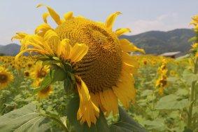 Sunflowers in Kochi