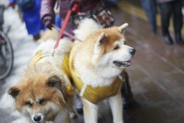 Dogs at Inukko Festival