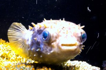 Even the puffer like fish are larger than life at the Okinawa Churaumi Aquarium and Theme Park