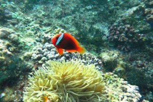 A clownfish at around 11m