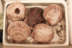 Dinner plate sized Scallops are a perfect snack, freshly cooked on the grill by a local fisherman.