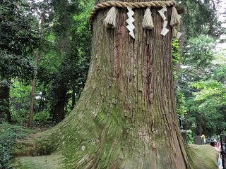 ต้นสนซุกิเก่าแก่บางต้นสูงถึง 47 เมตรและวัดลำต้นได้ 5.6 เมตร