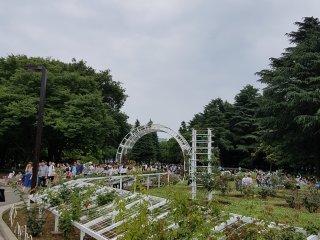 สวนกุหลาบ ในสวนโยะโยะกิ (Yoyogi)