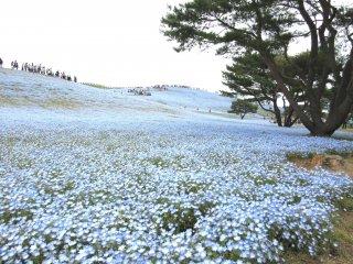 Огромные голубые поля очень впечатляют!