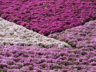 Чибазакура разных цветов