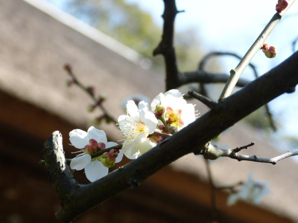White flowers of the plum tree