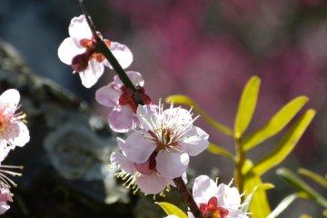 ดอกพลัม ที่วัดจมโยะ-จิ