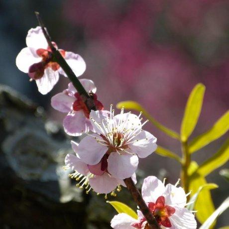鎌倉 浄妙寺の梅