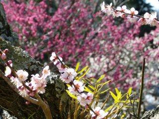 나는 분홍색과 흰색의 자두꽃을 정말 좋아한다