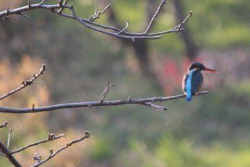 A kingfisher sits on a branch against a backdrop of flowering plum