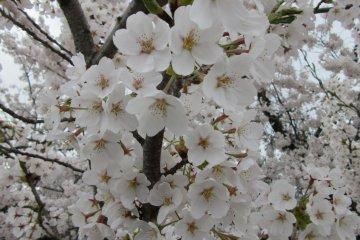 Цветы на сакуре появляются раньше листьев