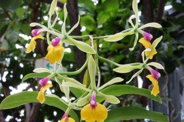 Миниатюрные орхидеи