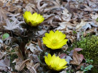 Yellow flowers announce the coming of spring
