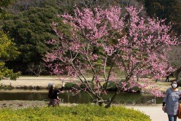 Lễ hội hoa mơ ở Mito