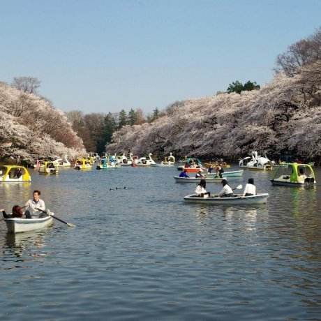 ดอกซากุระที่สวน Inokashira