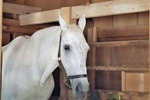 ม้าศักดิ์สิทธิ์ ม้าสีขาวบริสุทธ์ของขวัญจากประเทศนิวซีแลนด์