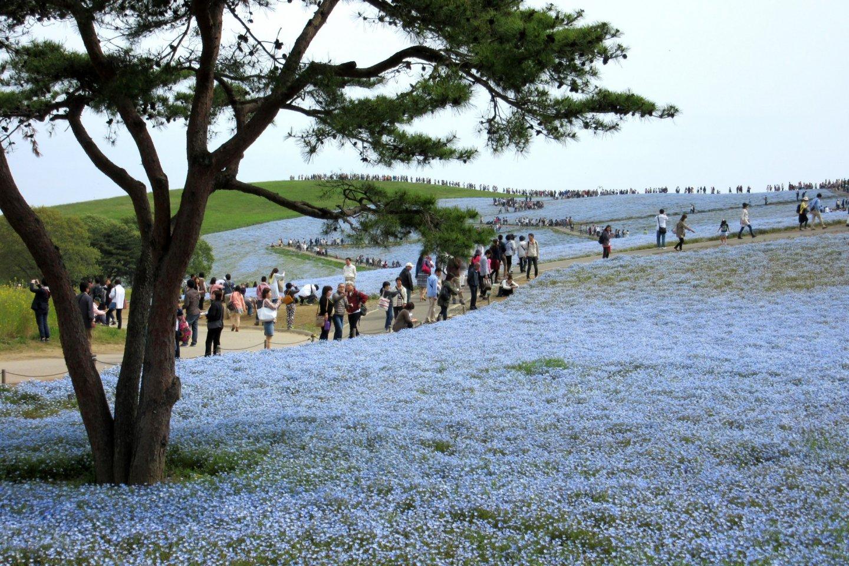 Тысячи людей в парке Хитачи, но все ходят по дорожкам, не вытаптывают цветочные поля
