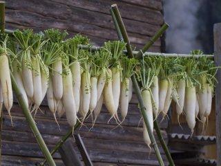 Des radis daikon suspendus pour sécher