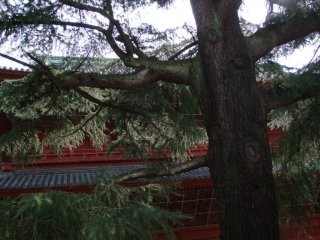 Huge 150 year old cedar near the temple's front gate