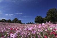 เทศกาลดอกคอสมอสแห่งสวน Showa Memorial Park