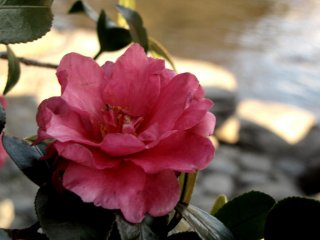Aside from plum blossoms, this park is home to numerous camellia
