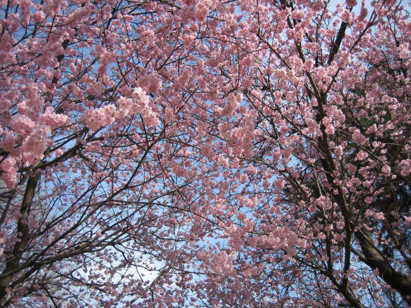 A tunnel of cherry blossom