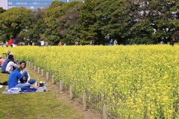 Yellow blossoms Hanami (Flower viewing) at Hamarikyu Garden