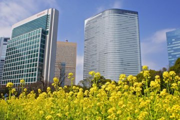 Shiodome skyscrapers backdrop to the yellow blossoms
