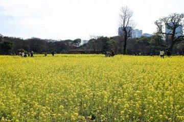 Sea of yellow at Hamarikyu Garden