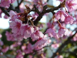 Những loài hoa màu hồng trong miếu thờ