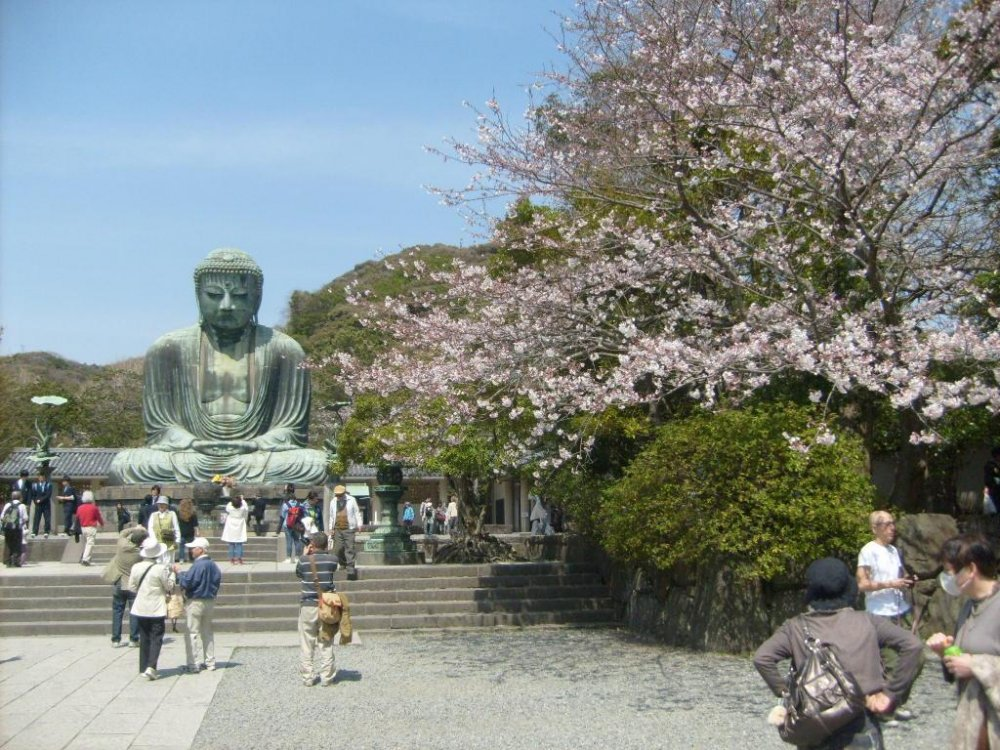 The serene Daibutsu contemplating a cherry-blossom tree