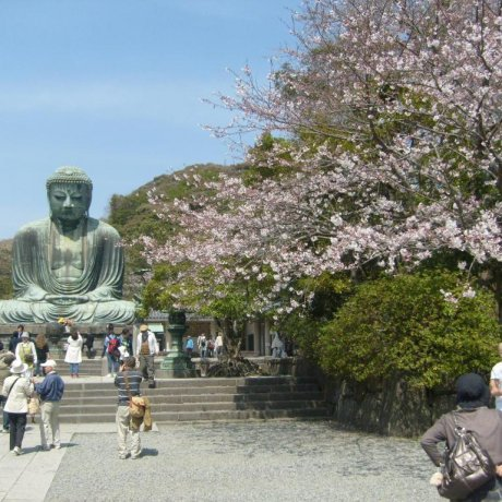 Cherry Blossoms in Kamakura
