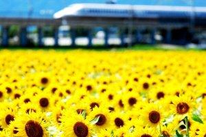 Camina a través de los girasoles de camino a Tokio desde Kioto