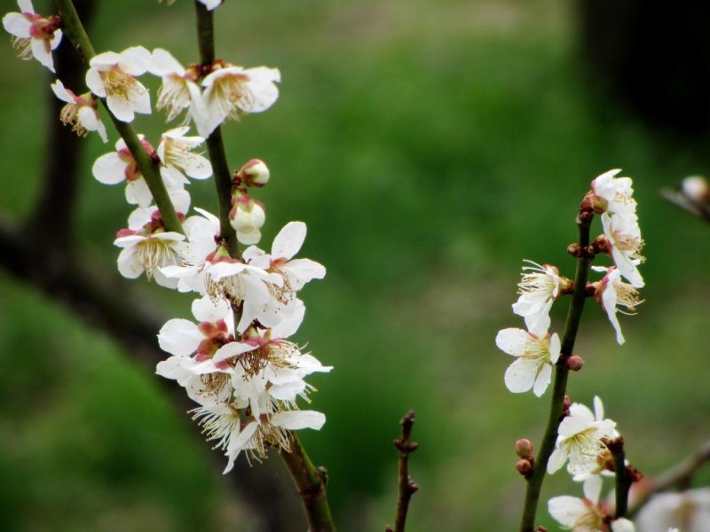 Plum blossoms are the main attraction in the spring