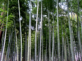 Meskipun mereka tidak berbunga seperti pohon plum, suara yang dibuat bambu-bambu ini benar-benar spektakuler