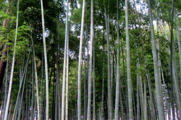 Even though they don't blossom like the plum trees, the bamboo grove was truly spectacular