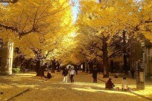 ต้นกิงโกะหรือแปะก้วยที่มหาวิทยาลัยโตเกียว