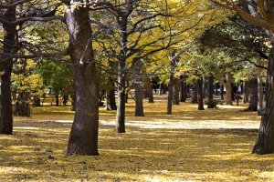 สีทองอร่ามตาในสวนโยะโยะกิ (Yoyogi)