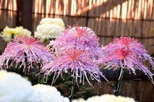 เทศกาลดอกเบญจมาศในสวนซานเคเอ็น