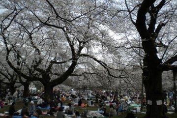 สวรรค์ของซากุระในโตเกียว
