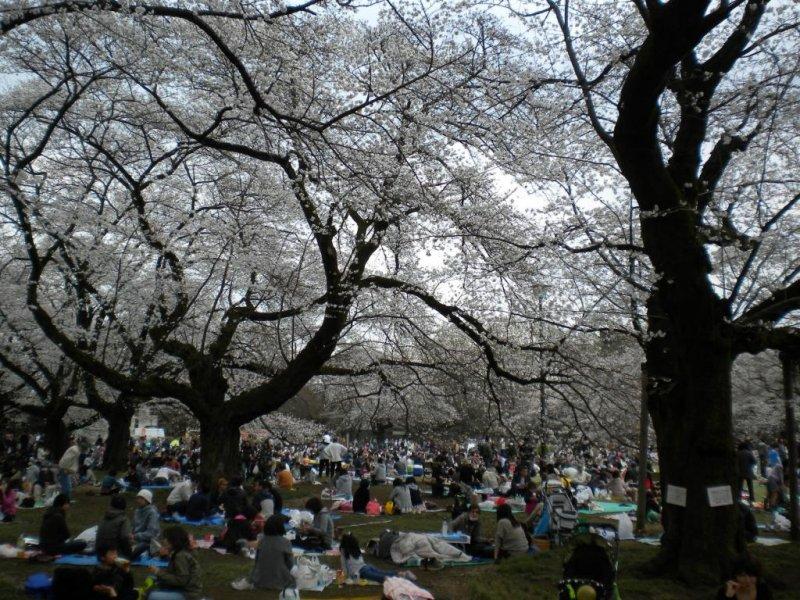 Cherry blossom viewing festivities at Koganei Park