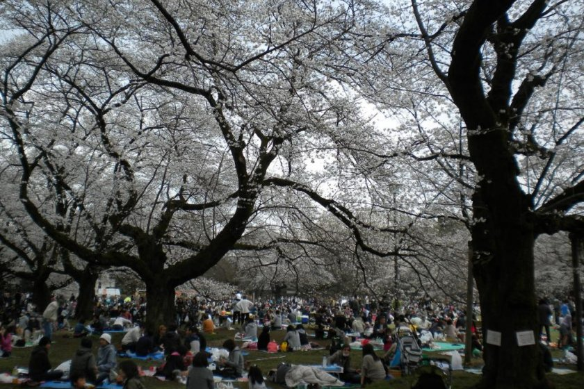 Cherry blossom viewing festivities at Koganei Park