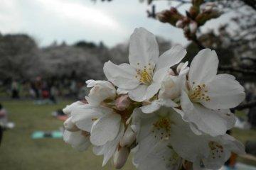Cherry blossom in full regalia at Koganei Park